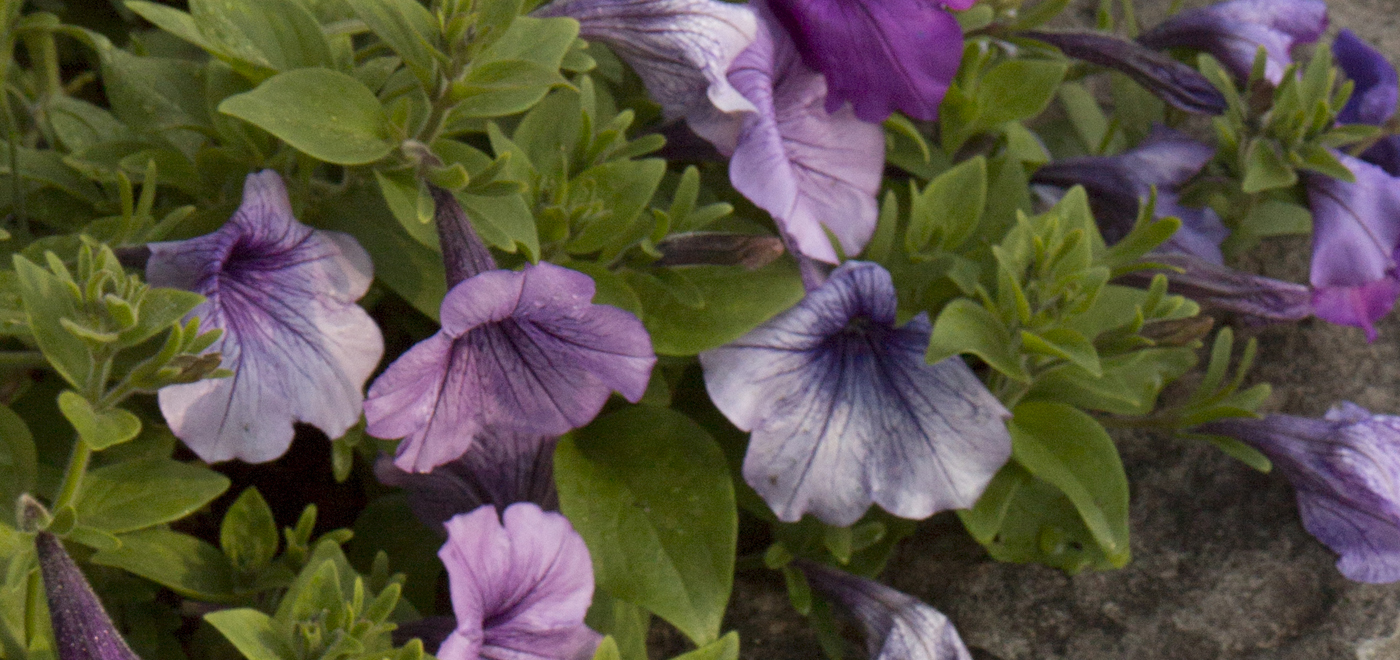 Purple petunias on the Carthage campus